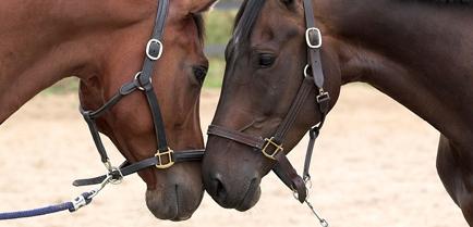 Nahaufnahme zwei braune Pferde begrüßen sich Kopf an Kopf