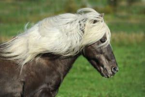 Das Islandpferd als Gangpferd – Horsia Ratgeber