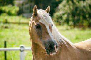 Der Haflinger als beliebtes Westernreitpferd – Horsia Ratgeber