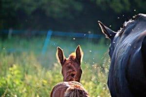 Pferd und Fohlen mit Insekten auf der Weide – Horsia Ratgeber