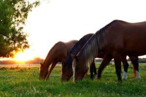 Pferde auf der Weide bei Sonnenaufgang – Horsia Ratgeber