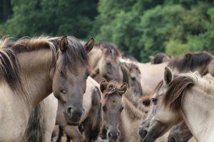 Ein kooperatives Pferd inmitten seiner Herde – Horsia Ratgeber